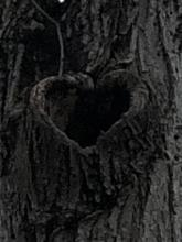 Opening in tree bark is shape of a heart. This photo is a closeup.